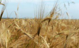 Озимые растут онлайн: в Ульяновске оцифруют аграрные  поля