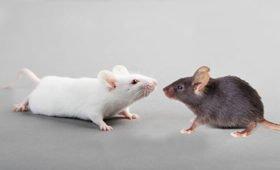 В Новосибирске создают мышей, восприимчивых к COVID-19