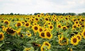 Правительство распределило субсидии для производства масличных культур