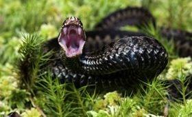 Настоящий гадюшник. Каких змей стоит бояться