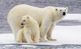 Ученые оценили риски исчезновения белых медведей из-за потепления