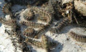 Ученые разрабатывают вакцину от коронавируса с помощью шелковичных червей